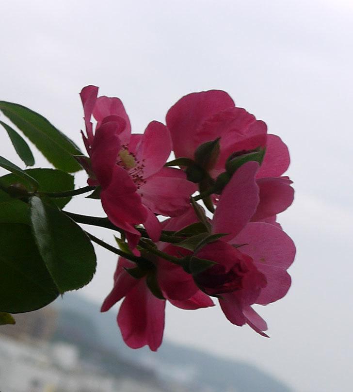 アンジェラ(ツルバラ)の秋花が咲いた。2016年-3.jpg