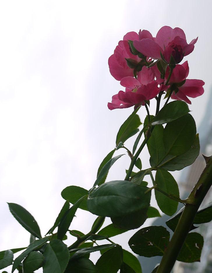 アンジェラ(ツルバラ)の秋花が咲いた。2016年-4.jpg