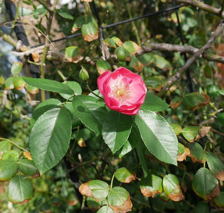 アンジェラ(ツルバラ)の秋花が咲いた。2018年-2.jpg
