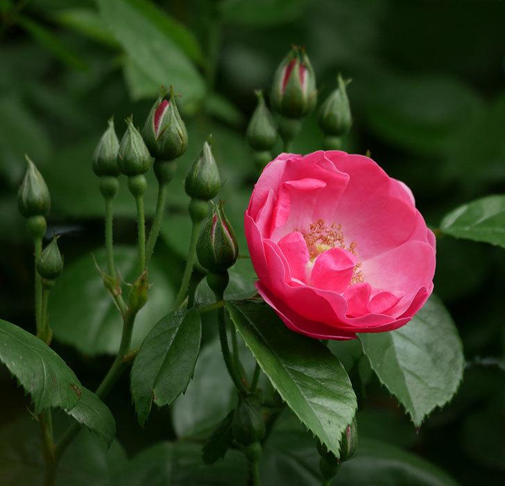 アンジェラ(ツルバラ)の花が1個咲いた。2019年-1.jpg