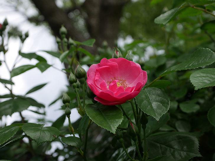 アンジェラ(ツルバラ)の花が1個咲いた。2019年-5.jpg