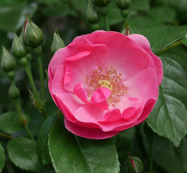 アンジェラ(ツルバラ)の花が1個咲いた。2019年-6.jpg