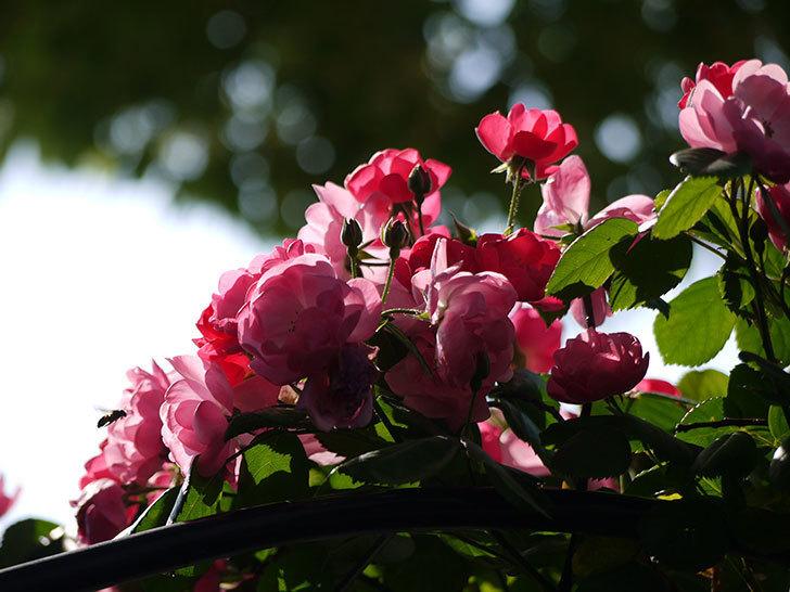 アンジェラ(ツルバラ)の花がたくさん咲いた。2017年-13.jpg