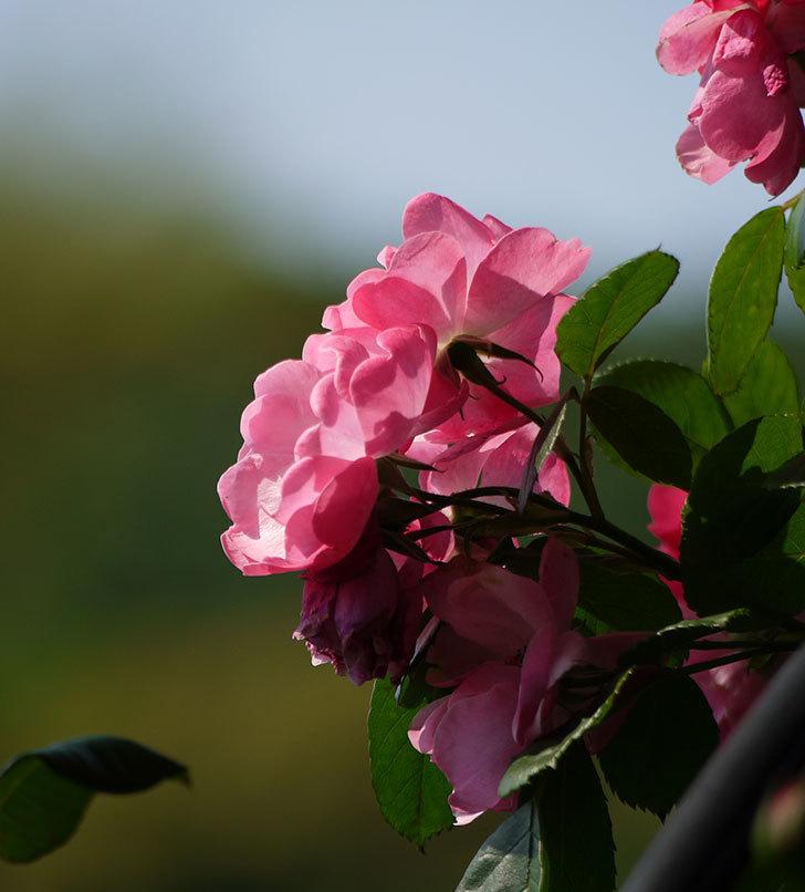 アンジェラ(ツルバラ)の花がたくさん咲いた。2017年-18.jpg