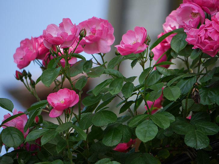 アンジェラ(ツルバラ)の花がたくさん咲いた。2019年-11.jpg