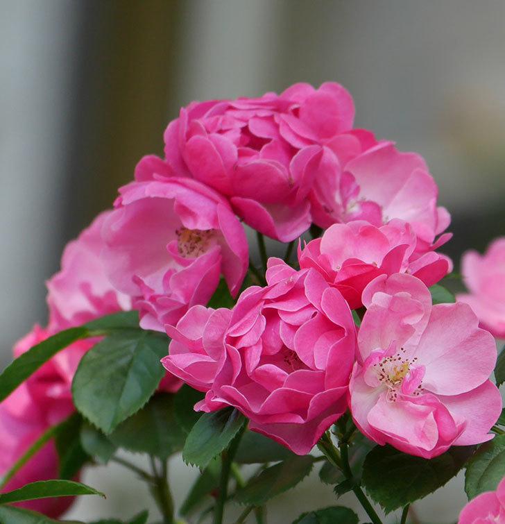 アンジェラ(ツルバラ)の花がたくさん咲いた。2019年-12.jpg