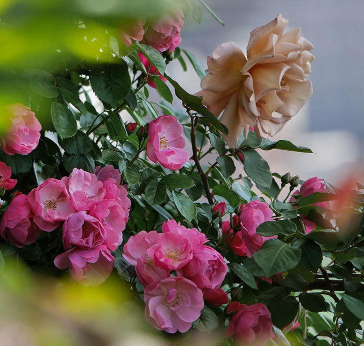 アンジェラ(ツルバラ)の花がたくさん咲いた。2019年-13.jpg