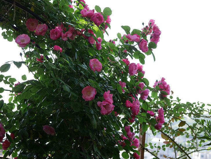 アンジェラ(ツルバラ)の花がたくさん咲いた。2019年-14.jpg