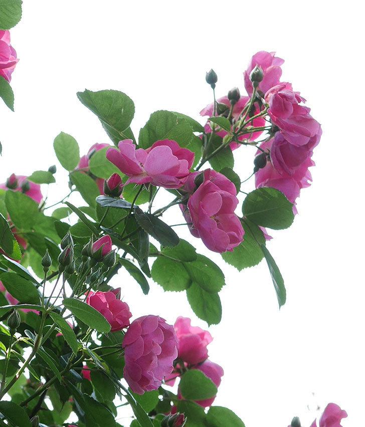 アンジェラ(ツルバラ)の花がたくさん咲いた。2019年-15.jpg