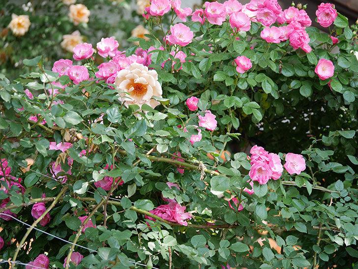 アンジェラ(ツルバラ)の花がたくさん咲いた。2019年-3.jpg