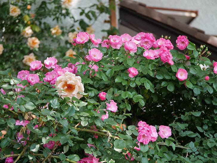 アンジェラ(ツルバラ)の花がたくさん咲いた。2019年-4.jpg