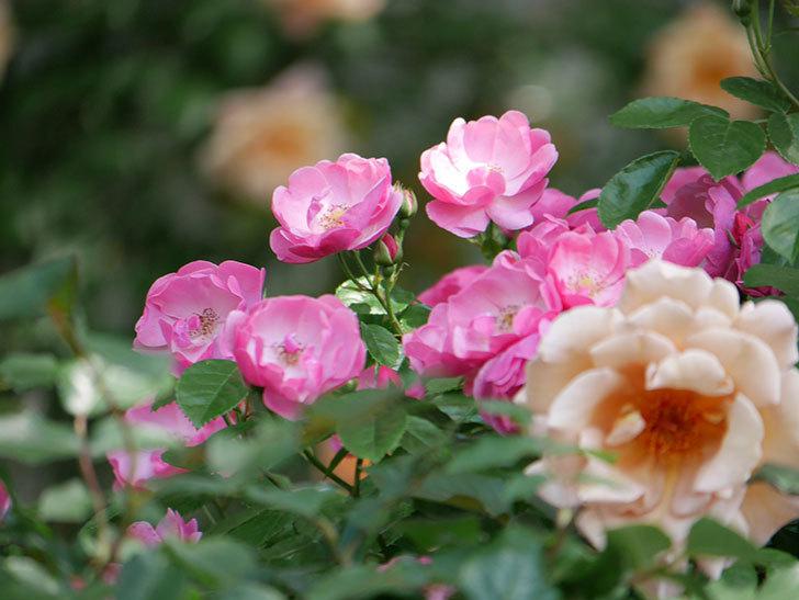 アンジェラ(ツルバラ)の花がたくさん咲いた。2019年-5.jpg
