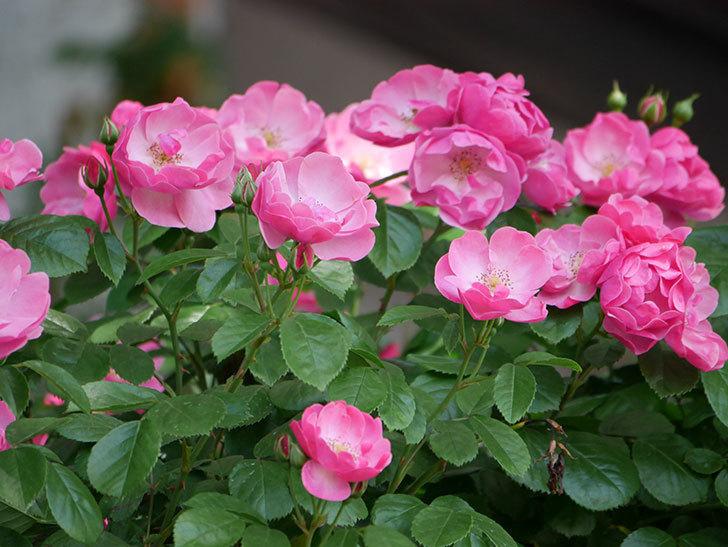 アンジェラ(ツルバラ)の花がたくさん咲いた。2019年-6.jpg