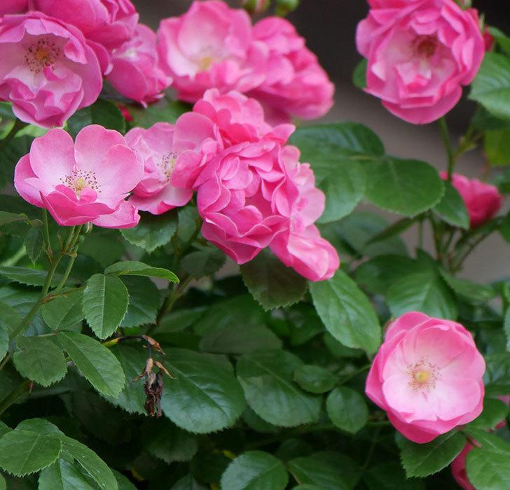 アンジェラ(ツルバラ)の花がたくさん咲いた。2019年-7.jpg