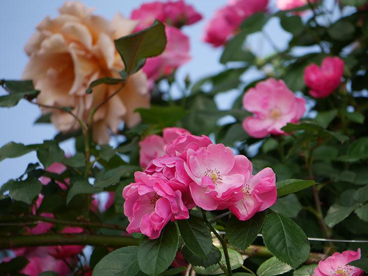 アンジェラ(ツルバラ)の花がたくさん咲いた。2019年-9.jpg