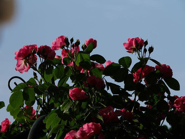 アンジェラ(ツルバラ)の花がたくさん咲いた。2020年-001.jpg