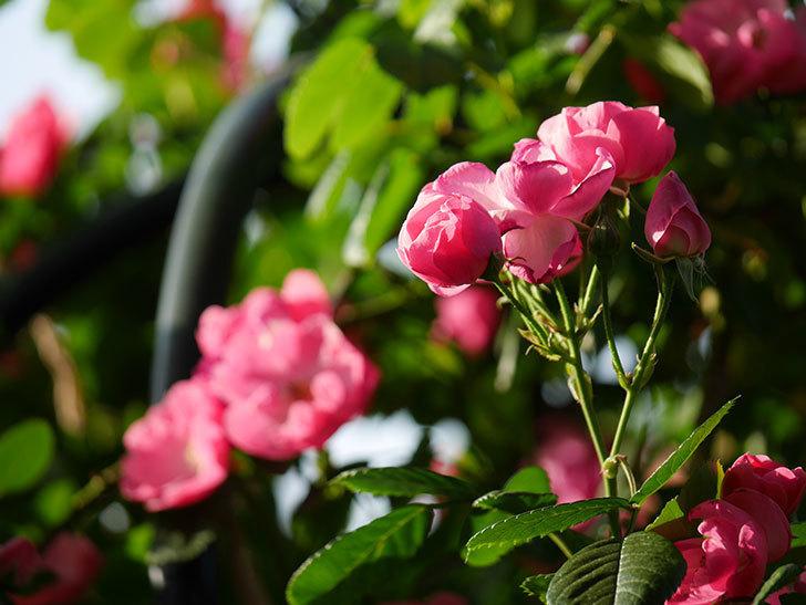 アンジェラ(ツルバラ)の花がたくさん咲いた。2020年-002.jpg