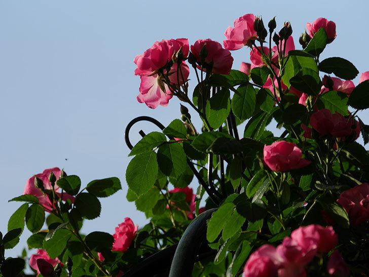 アンジェラ(ツルバラ)の花がたくさん咲いた。2020年-003.jpg