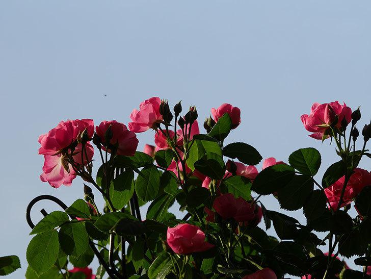アンジェラ(ツルバラ)の花がたくさん咲いた。2020年-004.jpg