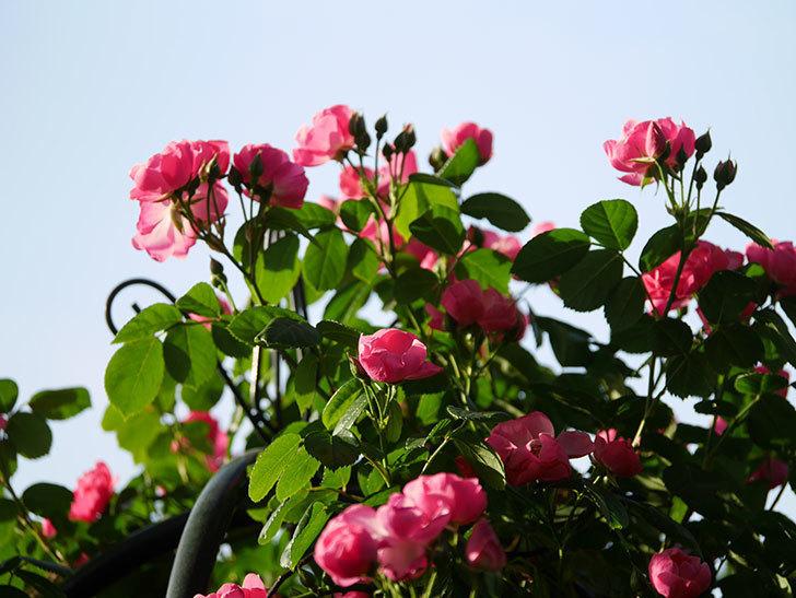 アンジェラ(ツルバラ)の花がたくさん咲いた。2020年-005.jpg