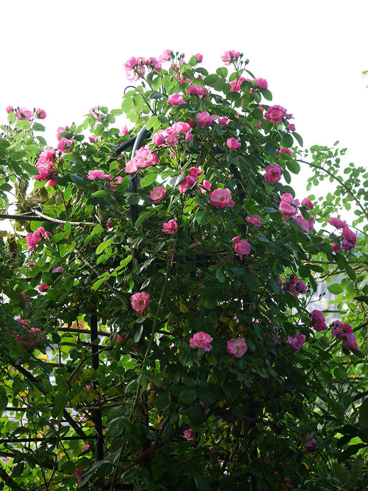 アンジェラ(ツルバラ)の花がたくさん咲いた。2020年-006.jpg