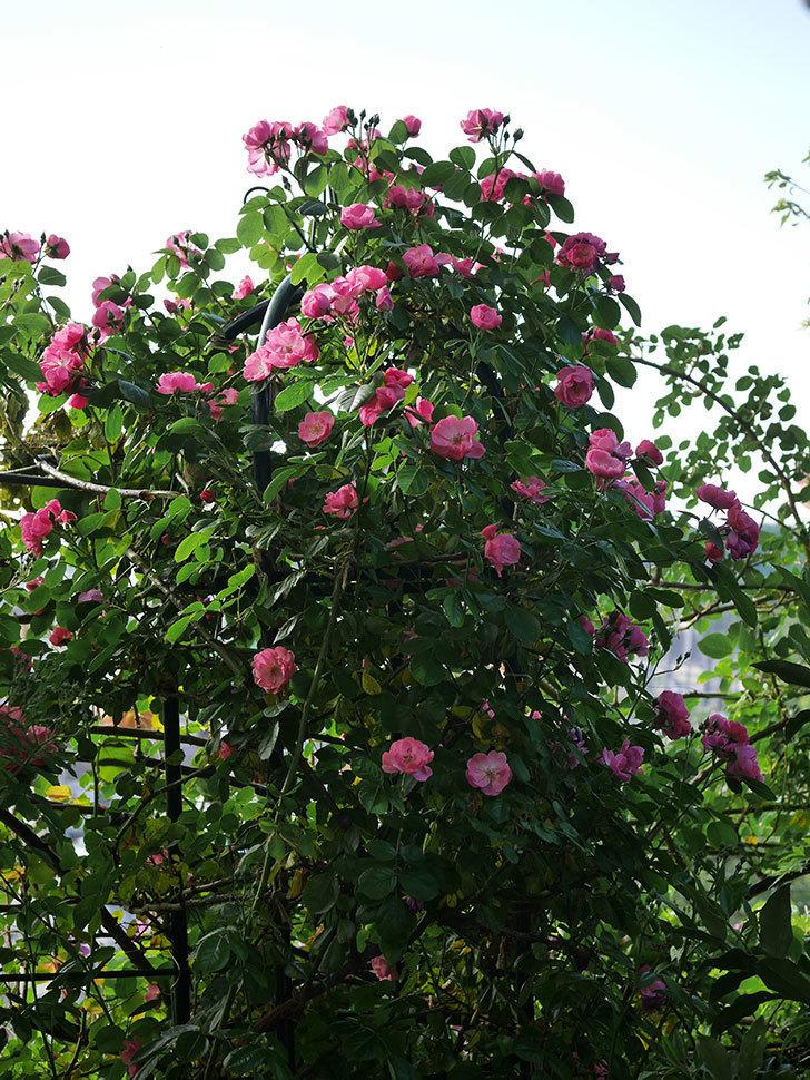 アンジェラ(ツルバラ)の花がたくさん咲いた。2020年-007.jpg