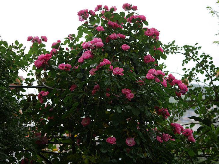 アンジェラ(ツルバラ)の花がたくさん咲いた。2020年-008.jpg