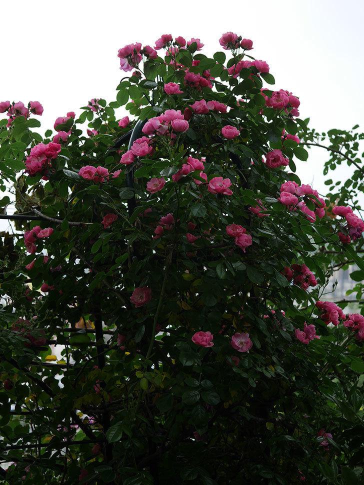 アンジェラ(ツルバラ)の花がたくさん咲いた。2020年-009.jpg