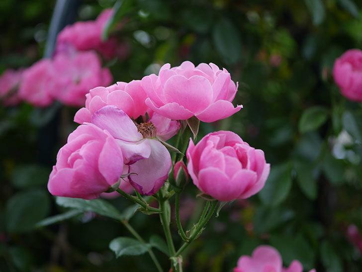 アンジェラ(ツルバラ)の花がたくさん咲いた。2020年-010.jpg