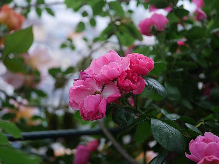 アンジェラ(ツルバラ)の花がたくさん咲いた。2020年-011.jpg