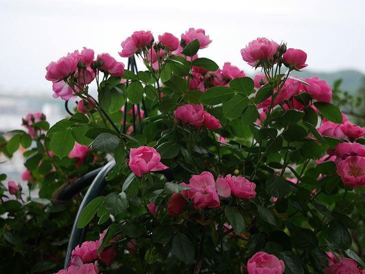 アンジェラ(ツルバラ)の花がたくさん咲いた。2020年-012.jpg