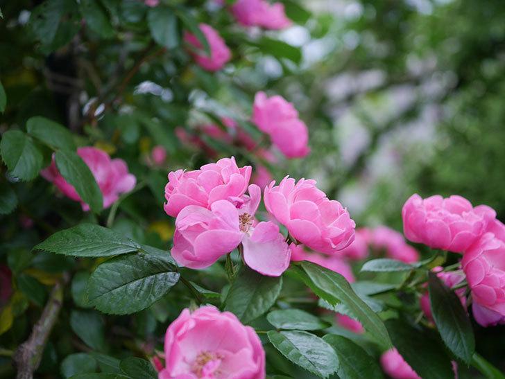 アンジェラ(ツルバラ)の花がたくさん咲いた。2020年-013.jpg