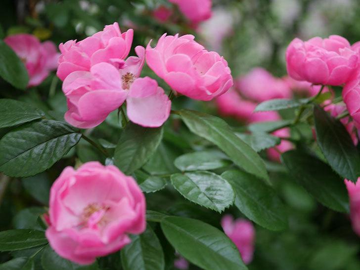アンジェラ(ツルバラ)の花がたくさん咲いた。2020年-014.jpg