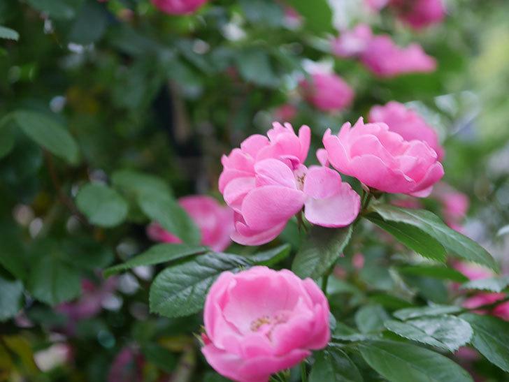 アンジェラ(ツルバラ)の花がたくさん咲いた。2020年-015.jpg