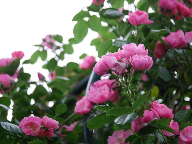 アンジェラ(ツルバラ)の花がたくさん咲いた。2020年-016.jpg