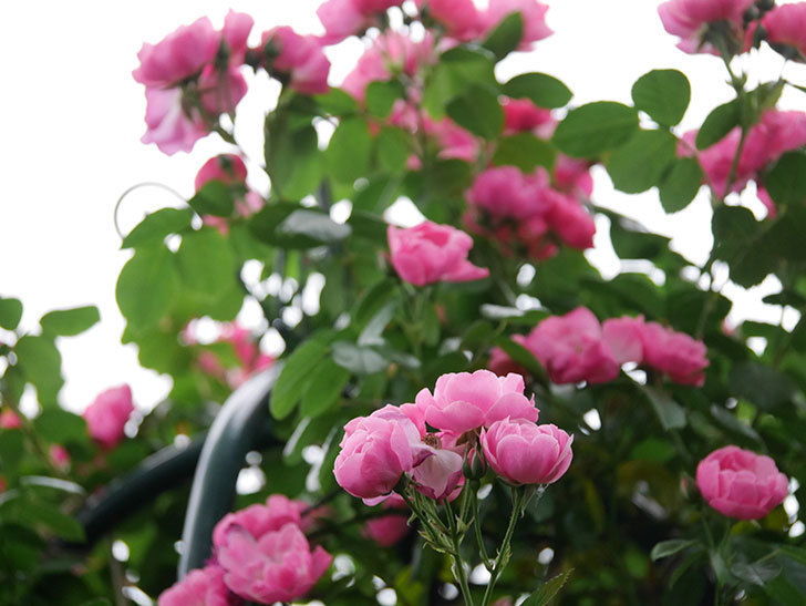アンジェラ(ツルバラ)の花がたくさん咲いた。2020年-017.jpg