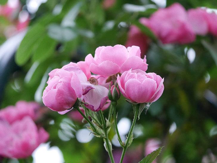 アンジェラ(ツルバラ)の花がたくさん咲いた。2020年-018.jpg