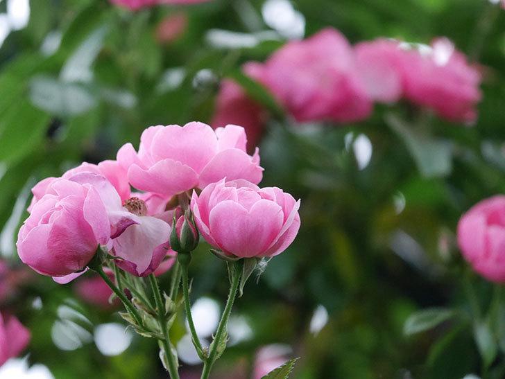 アンジェラ(ツルバラ)の花がたくさん咲いた。2020年-019.jpg