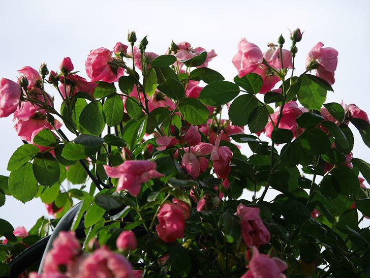 アンジェラ(ツルバラ)の花がたくさん咲いた。2020年-020.jpg