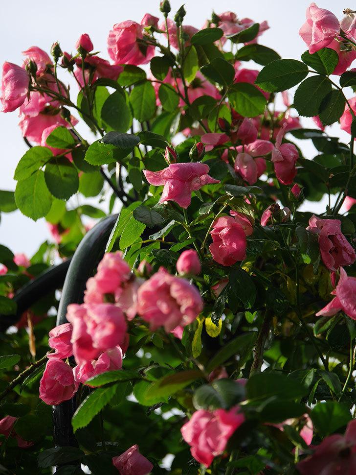 アンジェラ(ツルバラ)の花がたくさん咲いた。2020年-021.jpg