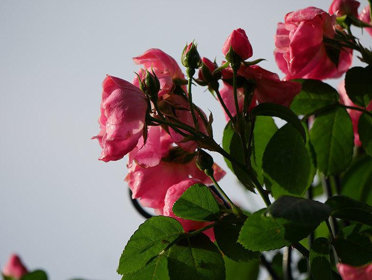 アンジェラ(ツルバラ)の花がたくさん咲いた。2020年-023.jpg