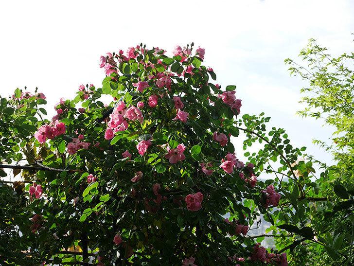 アンジェラ(ツルバラ)の花がたくさん咲いた。2020年-024.jpg