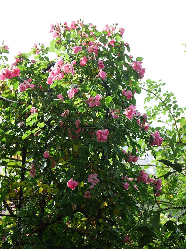 アンジェラ(ツルバラ)の花がたくさん咲いた。2020年-025.jpg