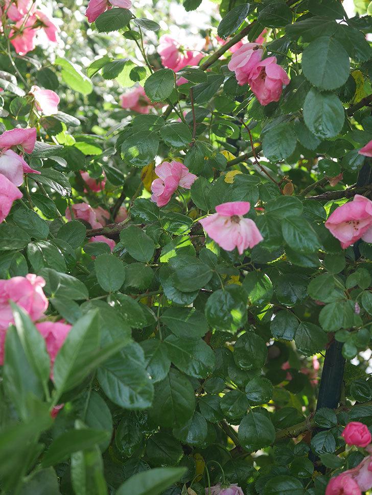 アンジェラ(ツルバラ)の花がたくさん咲いた。2020年-026.jpg