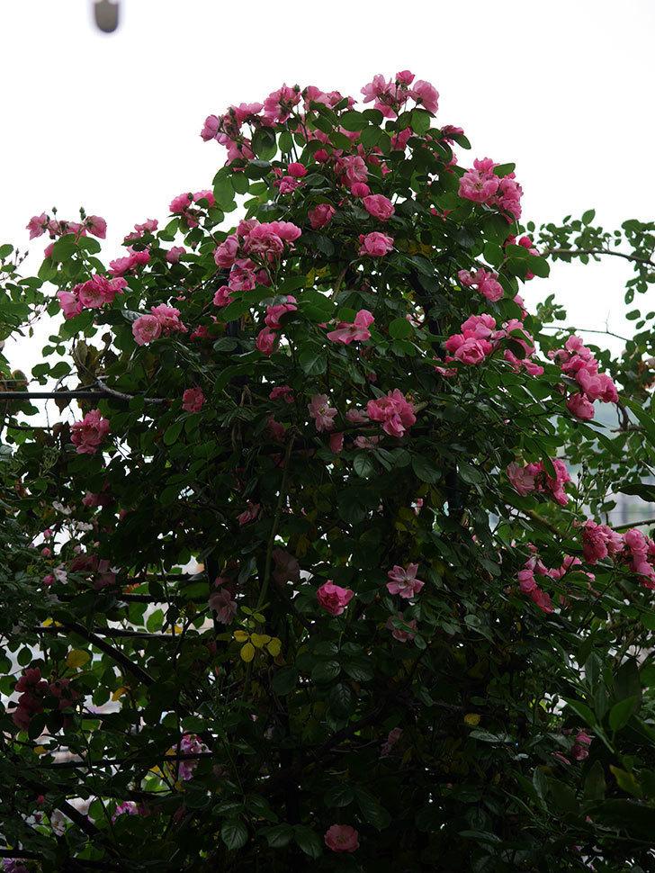 アンジェラ(ツルバラ)の花がたくさん咲いた。2020年-027.jpg