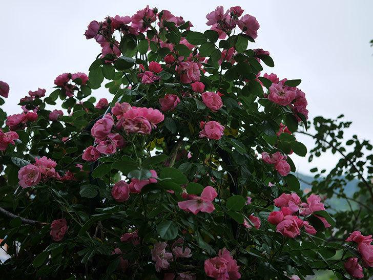 アンジェラ(ツルバラ)の花がたくさん咲いた。2020年-028.jpg