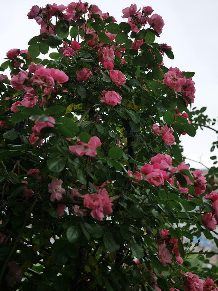 アンジェラ(ツルバラ)の花がたくさん咲いた。2020年-029.jpg