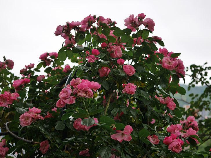 アンジェラ(ツルバラ)の花がたくさん咲いた。2020年-030.jpg