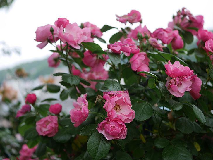 アンジェラ(ツルバラ)の花がたくさん咲いた。2020年-033.jpg