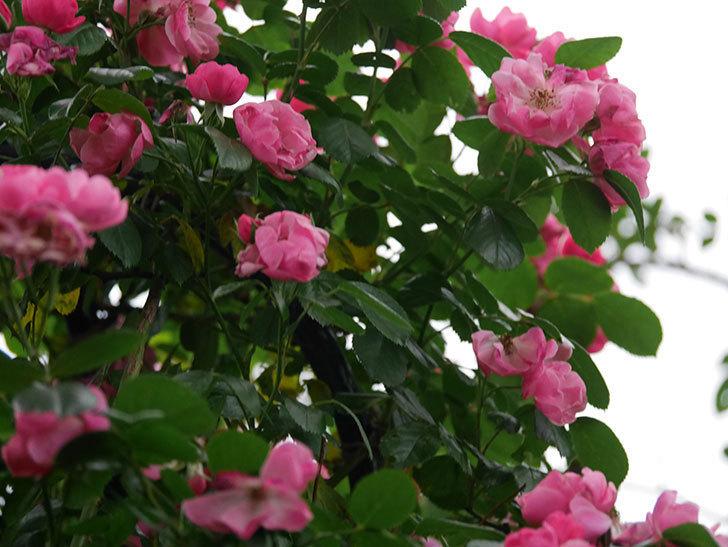 アンジェラ(ツルバラ)の花がたくさん咲いた。2020年-035.jpg